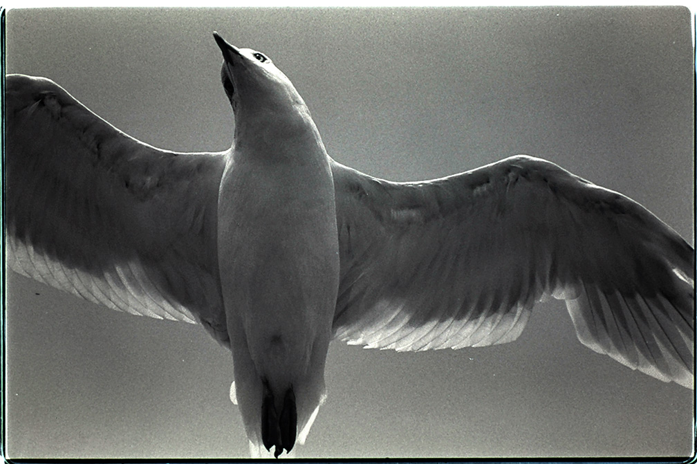 Gull, Cape Vincent, Wilson Bay, Dabon Point, Summer 2001
